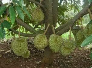 Dijual Bibit Cangkok Durian Montong Harga Terjangkau dan Berkualitas