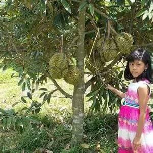Dijual Bibit Cangkok Durian Bangkok Emas Berkualitas Tinggi