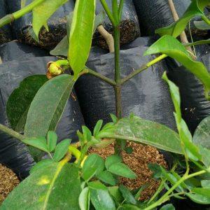 Dijual Bibit Cangkok MANGGIS Siap Berbuah dalam Pot