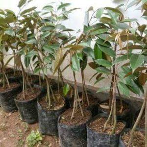 Dijual Bibit Buah DURIAN BAWOR (Durian Kaki Tiga) Berkualitas Tinggi