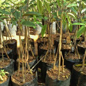 durian baworMUSANGKING k3 varietas unggul