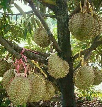 Bibit Durian Bawor K3 Varietas Unggul Cepat Berbuah Lebat