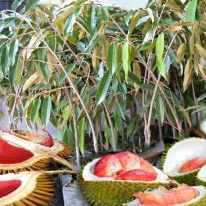 bibit durian merah varietas unggul berbuah lebat