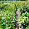 bibit durian musangking varietas unggul cepat berbuah lebat