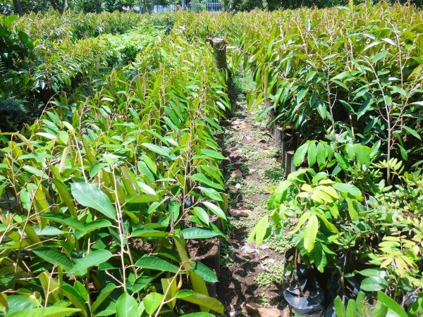 bibit durian musangking varietas unggul berbuah lebat