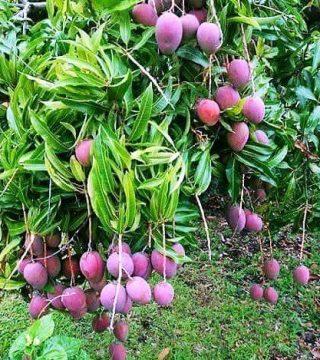bibit mangga irwin varietas unggul cepat berbuah lebat