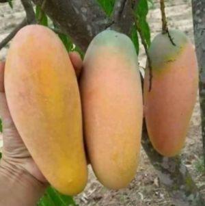 mangga chikonan varietas unggul