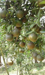 Cara budidaya tanaman jeruk