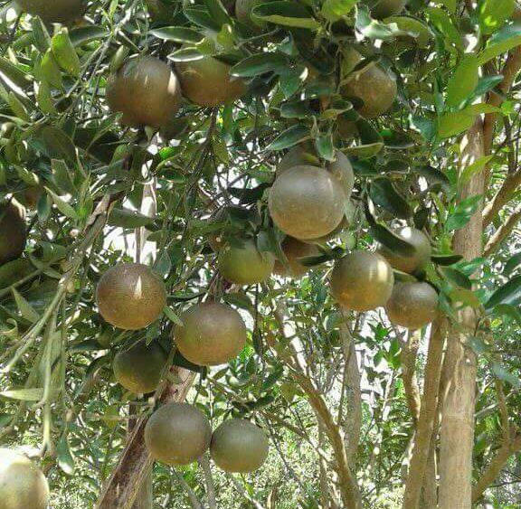 cara menanam jeruk